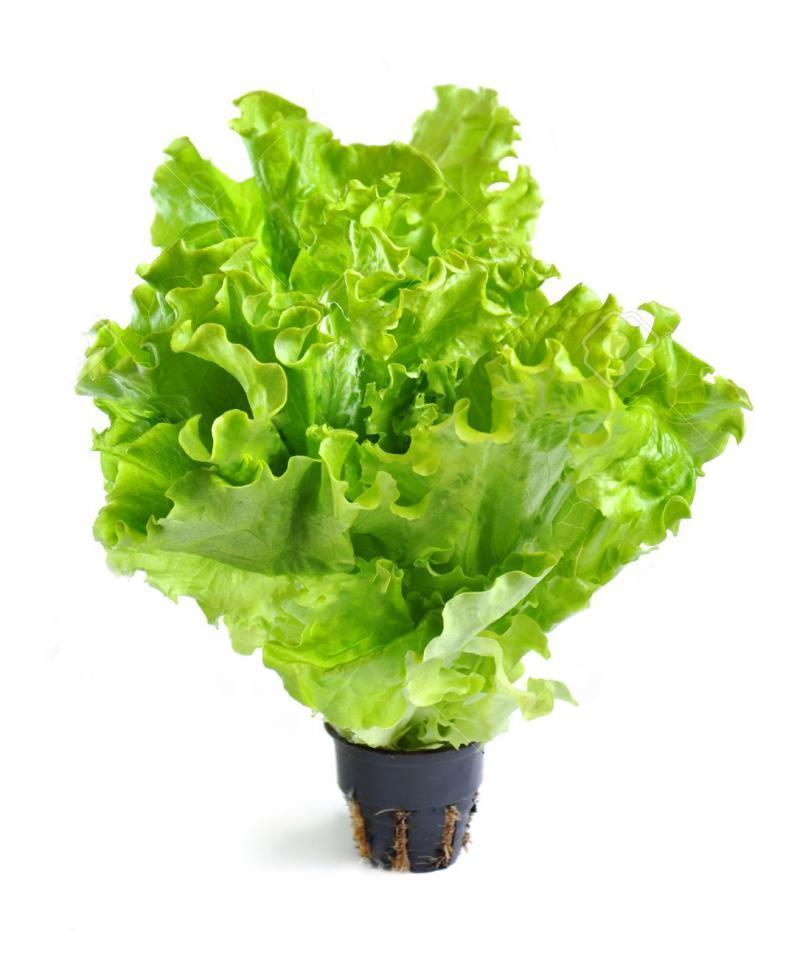 Салат в горшочке листовой