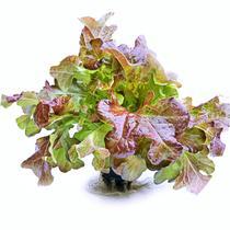 Салат Красный Дуболистный в горшочке