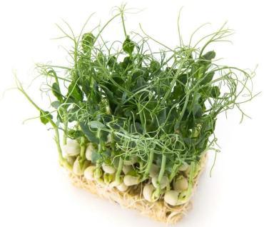 Микрозелень  Горох лоток 130х180 мм